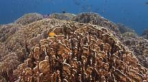 Blue Coral, Heliopora Coerulea