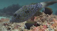 Scrawled Filefish, Aluterus Scriptus, And Redtail Butterflyfish, Chaetodon Collare