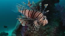Red Lionfish (Pterois Volitans) Or Devil Firefish (Pterois Miles)