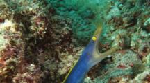 Ribbon Eel (Male), Rhinomuraena Quaesita, With Mouth Open