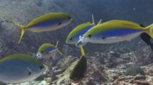 Bluestreak Cleaner Wrasse, Labroides Dimidiatus, Clean Mouths Of Yellowback Fusiliers, Caesio Xanthonota