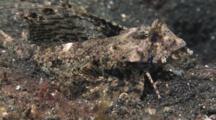 Male Fingered Dragonet, Dactylopus Dactylopus, Walks Over Sand
