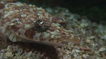 Close-Up Crocodile Fish Face, Cymbacephalus Beauforti, Moves Eyes