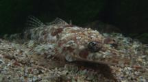 Crocodile Fish, Cymbacephalus Beauforti, Camouflaged On Sand