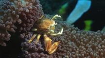 Porcelain Anemone Crab, Neopetrolisthes Maculatus, Feeding On Carpet Anemone, Stichodactyla Sp.