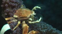 Porcelain Anemone Crab, Neopetrolisthes Maculatus, Feeding On Carpet Anemone, Stichodactyla Sp.