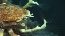 Close-Up Porcelain Anemone Crab Feeding