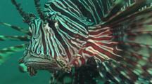 Red Lionfish (Common Lionfish), Pterois Volitans. Close Up Of Face
