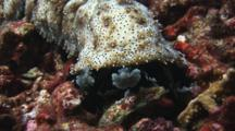 Graeffe's Sea Cucumber, Pearsonothuria Graeffei, Walks Across Dead Coral Rubble