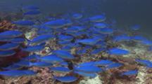 School Of Variable-Lined Fusiliers, Caesio Varilineata, And Bluespotted Cornetfish (Smooth Flutemouth), Fistularia Commersonii