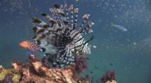 Red Lionfish (Pterois Volitans) Or Devil Firefish (Pterois Miles) Over Coral Reef