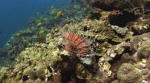 Spotfin Lionfish, Pterois Antennata, Rests On Coral Reef