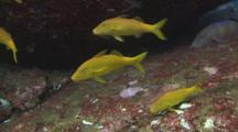 Goldsaddle Goatfish (Yellowsaddle Goatfish), Parupeneus Cyclostomus