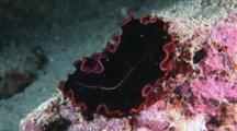 Hyman's Flatworm, Pseudobiceros Hymanae