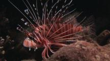 Spotfin Lionfish, Pterois Antennata, At Night On Coral Reef