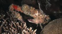 Horrid Elbow Crab, Daldorfia Horrida, Crawls Sideways Over Hard Corals