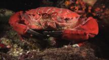 Splendid Round Crab, Etisus Splendidus, At Rest