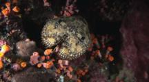 Sculptured Slipper Lobster, Parribacus Antarcticus, Amongst Orange Cup Corals