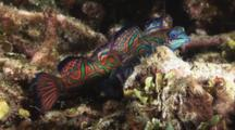Mandarinfish Mating, Synchiropus Splendidus