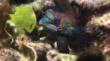 Mandarinfish, Synchiropus Splendidus, Searching For Mate