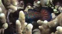 Mandarinfish Mating, Synchiropus Splendidus