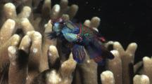 Mandarinfish Mating, Synchiropus Splendidus, Over Hard Coral