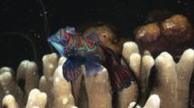 Mandarinfish Mating, Synchiropus Splendidus, Over Hard Coral