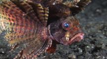 Dwarf Lionfish, Dendrochirus Brachypterus, Swimming Over Volcanic Sand