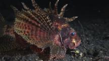 Dwarf Lionfish, Dendrochirus Brachypterus, Resting. Side