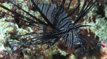Juvenile Red Lionfish (Common Lionfish), Pterois Volitans, Spread Pectoral Fins