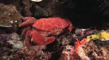Splendid Round Crab, Etisus Splendidus, Retreats From Camera