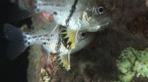Orbiculate Cardinalfish, Sphaeramia Orbicularis