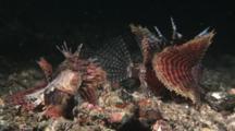 Pair Of Dwarf Lionfish, Dendrochirus Brachypterus