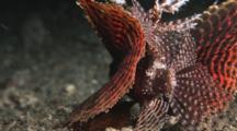 Dwarf Lionfish, Dendrochirus Brachypterus. Rear View Showing Fins