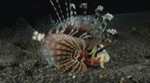 Zebra Lionfish, Dendrochirus Zebra, At Night Over Volcanic Sand