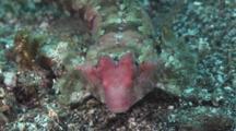 Morrison's Dragonet (Female), Synchiropus Morrisoni, Walks Over Sand