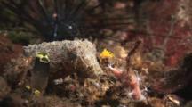 Dwarf Cuttlefish, Sepia Bandensis