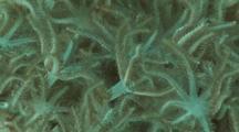 Pulsing Xenia Coral, Xenia Actuosa. Close Up Of Polyps