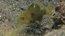 Bullseye Cardinalfish, Apogonichthyoides Nigripinnis