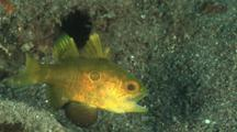 Bullseye Cardinalfish, Apogonichthyoides Nigripinnis, Threatens Juvenile Wrasse, Oxycheilinus Sp.