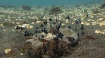 Domino Damsels (Threespot Dascyllus), Dascyllus Trimaculatus, Cardinalfish, And Porcelain Anemone Crabs, Neopetrolisthes Maculatus, Compete Over Haddon's Carpet Anemone, Stichodactyla Haddoni