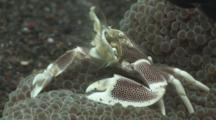 Porcelain Anemone Crab, Neopetrolisthes Maculatus, Feeding On Haddon's Carpet Anemone, Stichodactyla Haddoni
