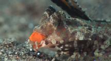 Orange-Black Dragonet, Dactylopus Kuiteri
