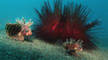 Dwarf Lionfish, Dendrochirus Brachypterus, And Blue-Spotted Urchins, Astropyga Radiata