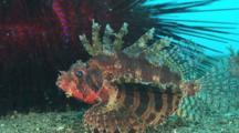 Dwarf Lionfish, Dendrochirus Brachypterus, In Front Of Blue-Spotted Urchin, Astropyga Radiata