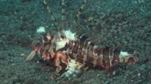 Blackfoot Lionfish (Blackfoot Firefish), Parapterois Heterura, Resting On Sand