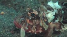 Blackfoot Lionfish (Blackfoot Firefish), Parapterois Heterura. Close Up Of Head