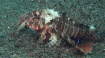 Blackfoot Lionfish (Blackfoot Firefish), Parapterois Heterura, Flees