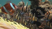 Banggai Cardinalfish Compete With Clark's Anemonefish And Domino Damsels Over Long-Tentacle Anemone