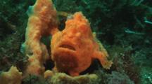 Orange Painted Frogfish, Antennarius Pictus, Camouflaged Next To Sponge. Front View
